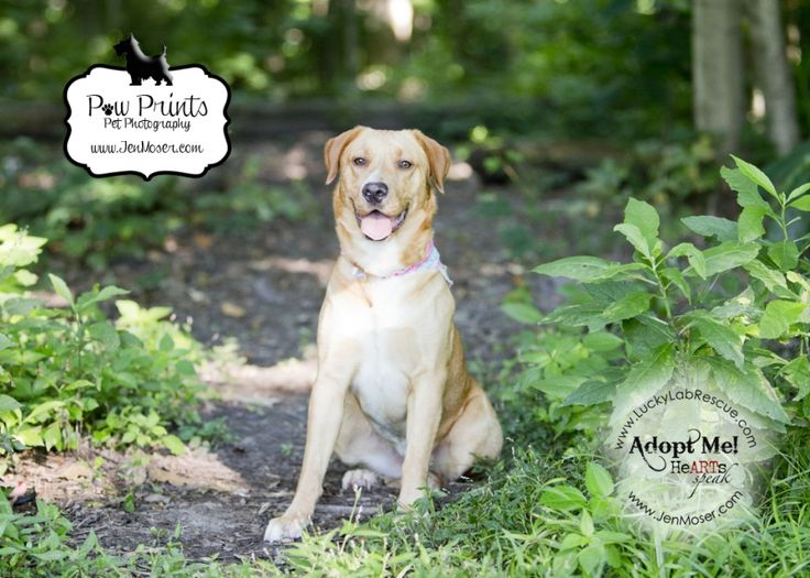 Adoptable Myra sitting at Shoaff Park in Fort Wayne, Indiana from Lucky Lab Rescue www.JenMoser.com