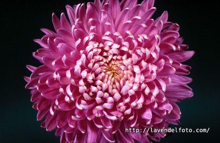 chrysanthemum x morifolium cv. | Chrysanthemum indicum cv. / ye ju, 野菊 / Chrysantheme / Florist's ...