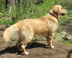 golden retriever away - Google Search