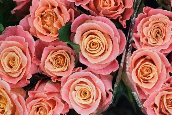 Miss Piggy pink roses at New Covent Garden Flower Market - August 2015