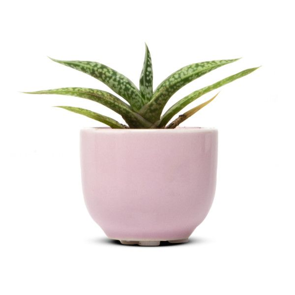 Succulent Cup, Air Plant and Succulent Holder by Chive