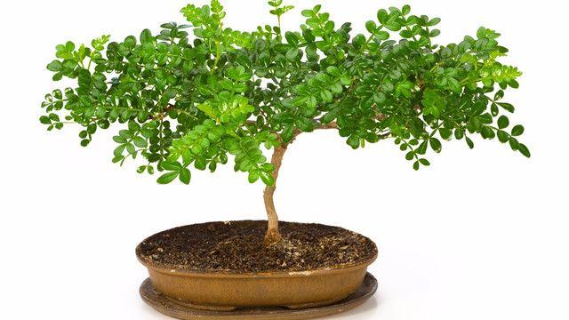 日本原産の山椒は、全国の山野で見ることのできる低木です。山椒の実を佃煮にしたり、粉に挽いてうなぎにかけたり、昔から食用植物として親しまれてきました。若葉を摘んで澄まし汁に浮かべる、煮物にあしらうなど、香りを楽しむことも。日本伝統のハーブとも言える山椒を自宅で楽しんでみませんか?