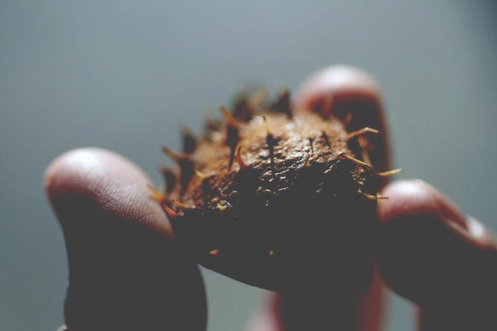 Chestnut Shell. #macro #photography