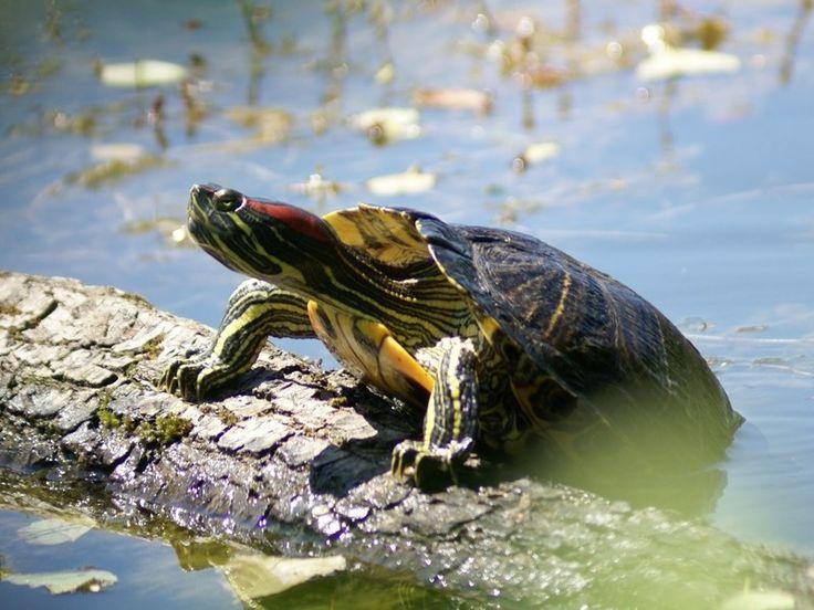 http://faaxaal.forumactif.com/t2098-tortue-de-floride-tortue-a-tempe-rouge-trachemys-scripta-elegans