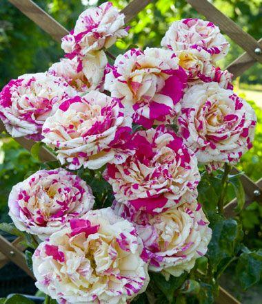 rosier grimpant vanille fraise bonita vanila y fraisa color yes por my garden le. Black Bedroom Furniture Sets. Home Design Ideas