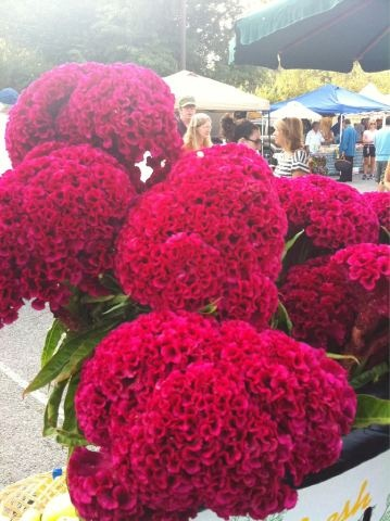 lovely cockscomb flowers