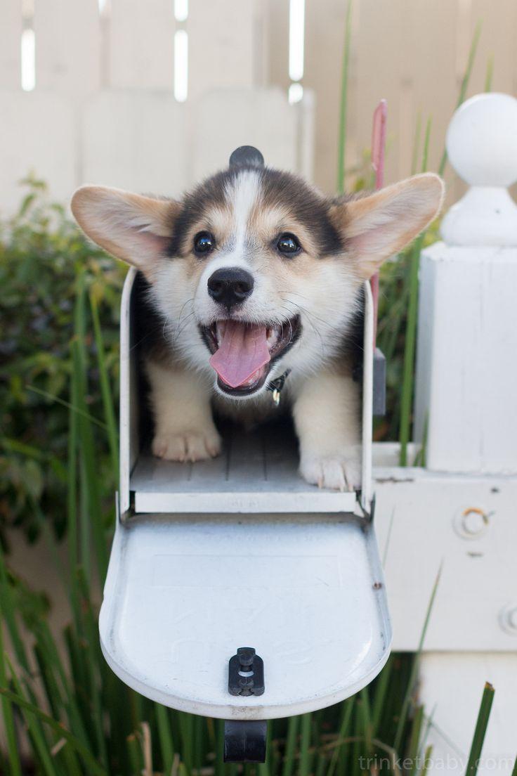 Corgi delivery. This week's cuteness requirement. #JusticeForGeist, Twitter @JusticeforGeist, Instagram @JusticeForGeistUtah, www.pinterest.com/JusticeforGeist,  www.facebook.com/JusticeForGeist