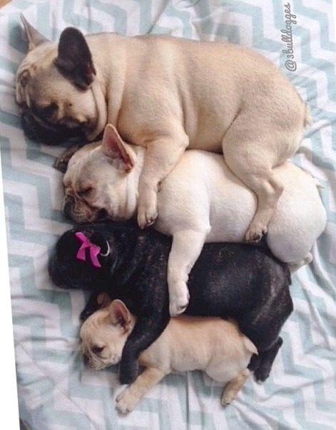 Spooning French Bulldog Family❤️ @3Bulldogues