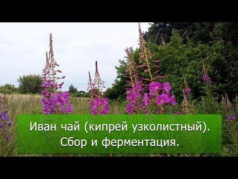 Иван чай (кипрей узколистный). Сбор и ферментация.