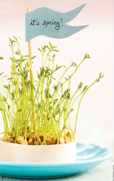 love these little sprouting lentils, via poppytalk