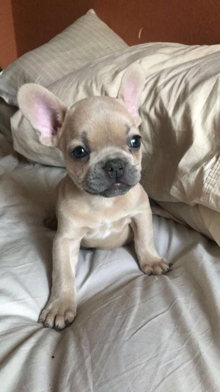 French Bulldog Puppy Bulldogs With Images Fawn French Bulldog