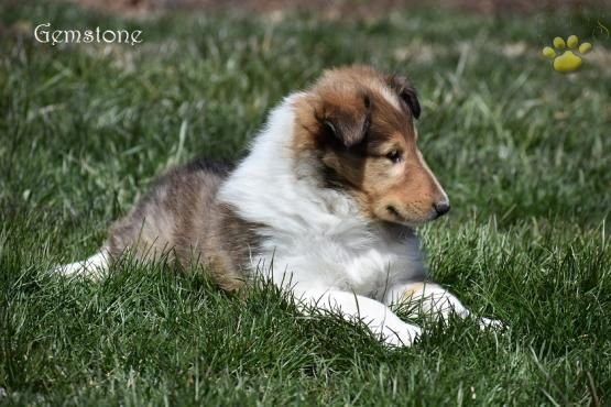 Gemstone Collie Puppy For Sale In Danville Pa Lancaster