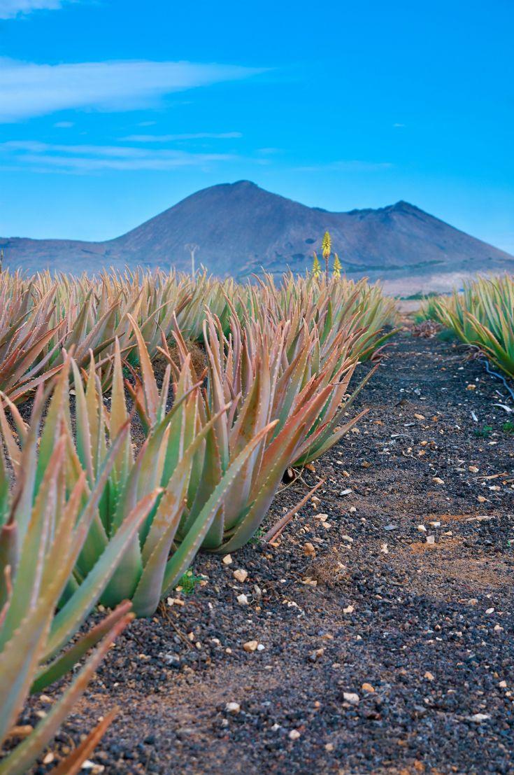 Aloe plantation in Fuerteventura. #fuerteventura #canaryislands #nature