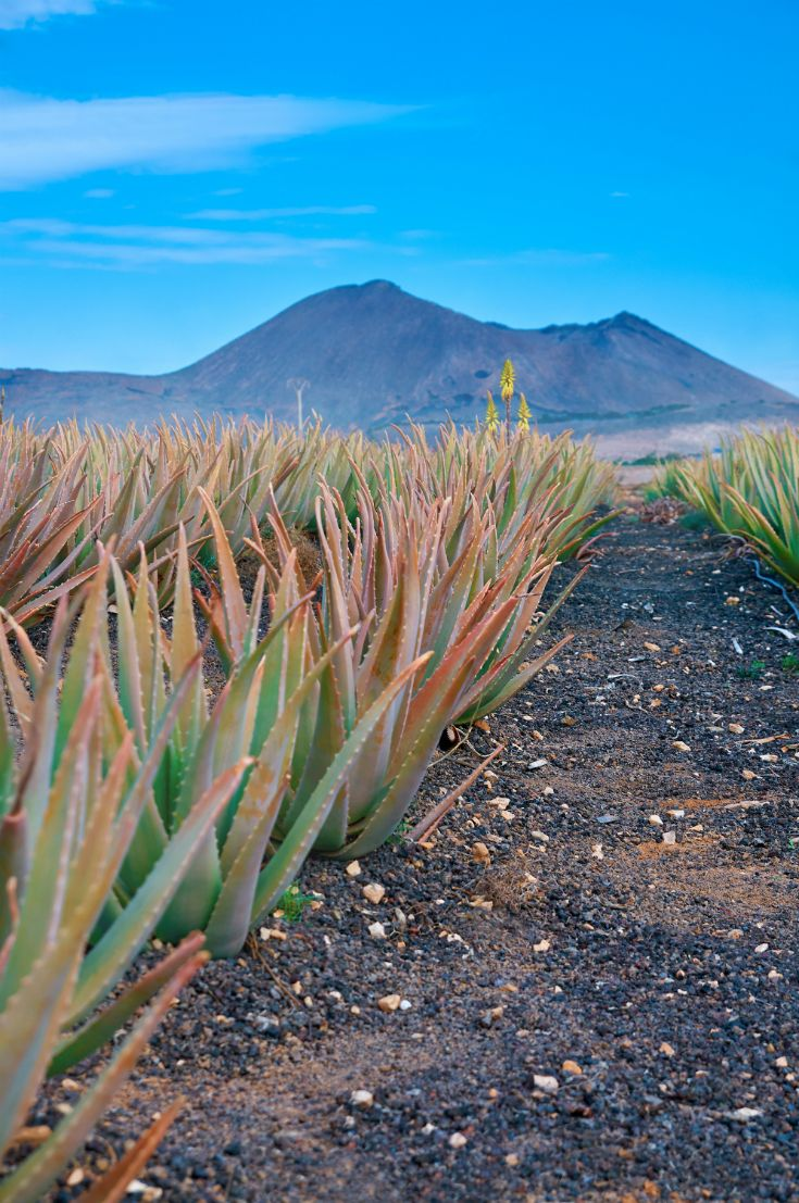 Aloe plantation in Fuerteventura. #fuerteventura #canaryislands #nature