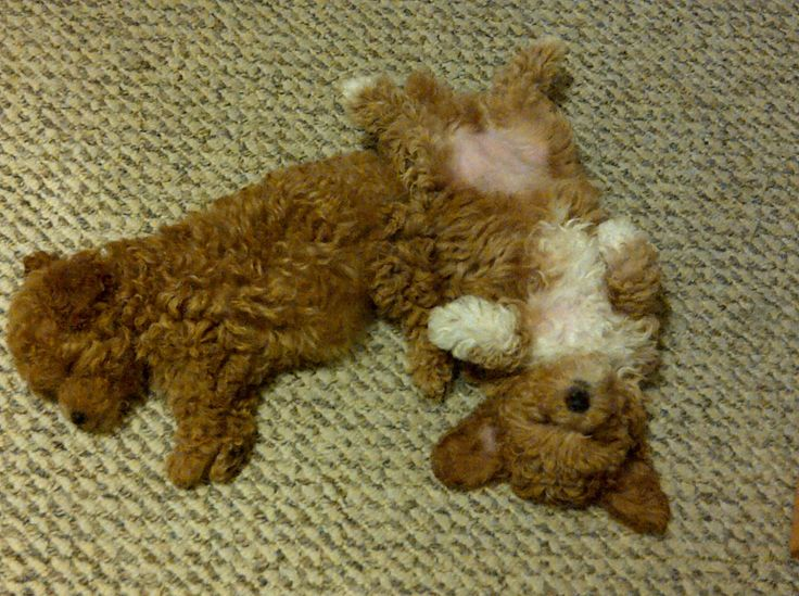 Ruby and Diamond: Toy poodle puppies