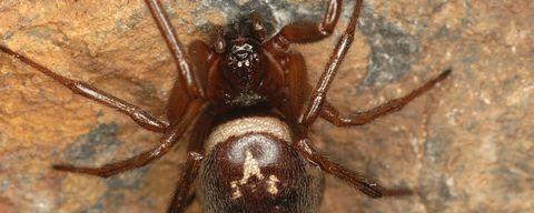 Une morsure d'araignée redoutable