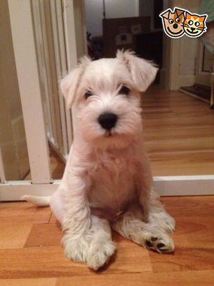 """Click visit site and Check out Best """"Miniature Schnauzer"""" T-shirts. This website is excellent. Tip: You can search """"your name"""" or """"your favorite shirts"""" at search bar on the top."""
