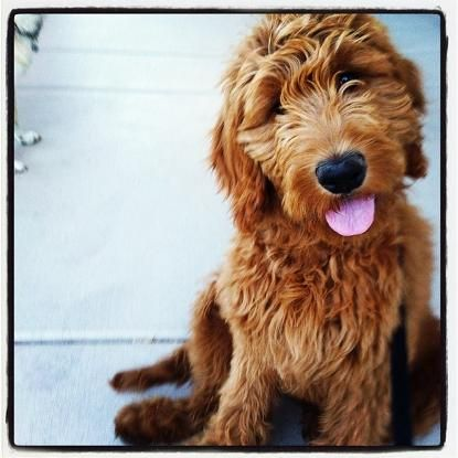 Love these puppies from 4E Kennels. They are a wonderful breeder of Goldendoodles.