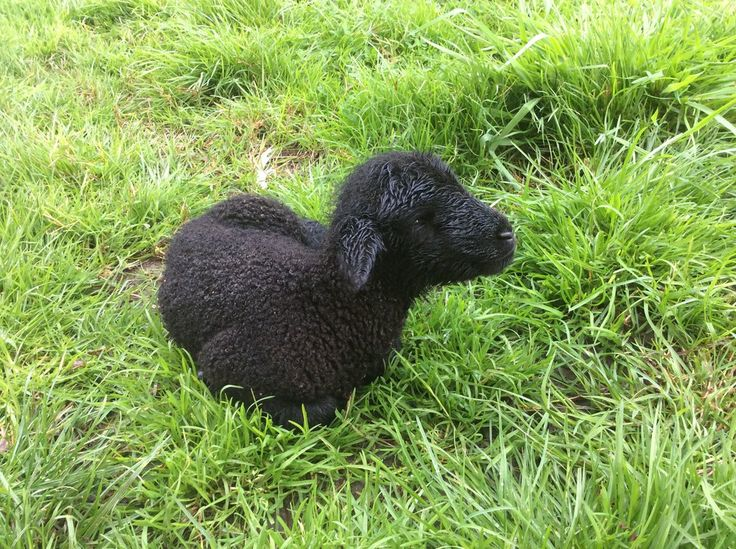 Newborn black lamb by Lionessrules.deviantart.com on @DeviantArt