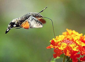 Kolibrie in de tuin???