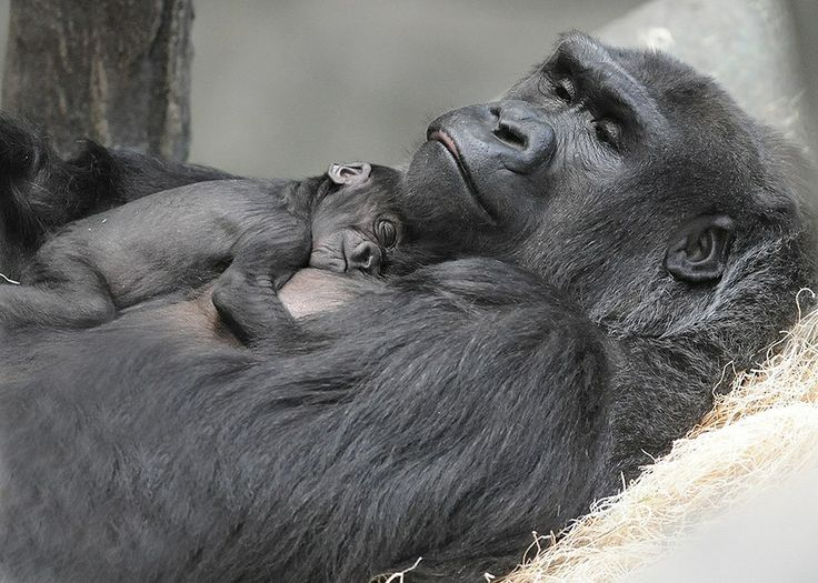 A baby female Gorilla, born on November 4 at Chicago's Brookfield Zoo, is spending some quality time with her mom, Koola. The newborn joins a family of four, including her big sister, father, and maternal grandmother.   See and read more today at ZooBorns: http://www.zooborns.com/zooborns/2013/12/gorilla-brookfield.html