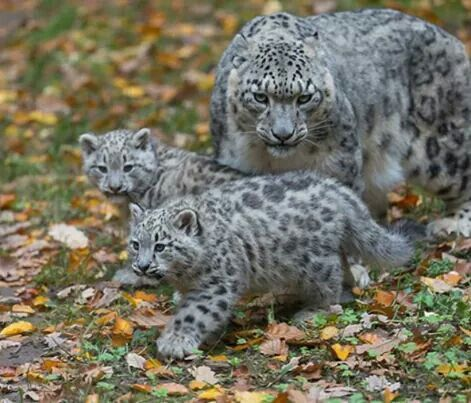 Snow leopard with cubs                                                                                                                                                                                 Mais