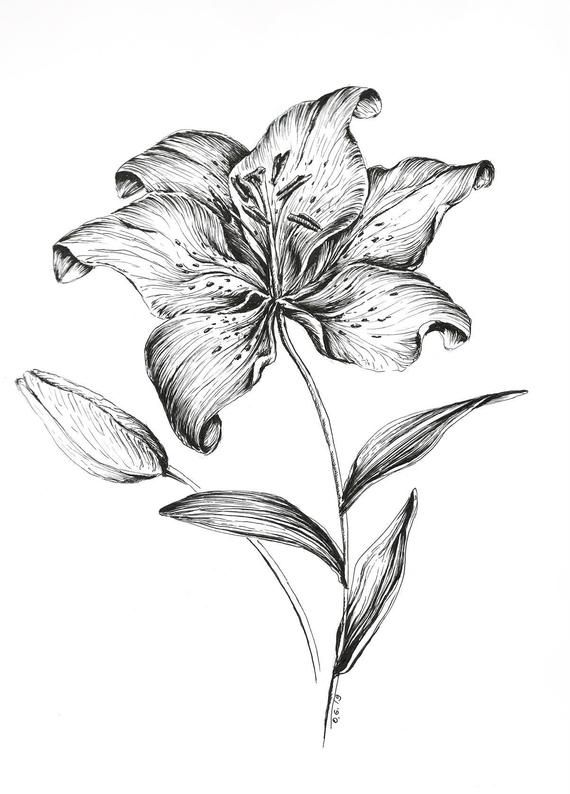 Realistic Lily Flower Drawing : realistic, flower, drawing, Google, Image, Result, Https://i.etsystatic.com/11855537/r/il/6063d5/1761330506/il_570xN.1761330506_ltvi.jp…, Flower, Drawing,, Lilies, Lilly, Drawing