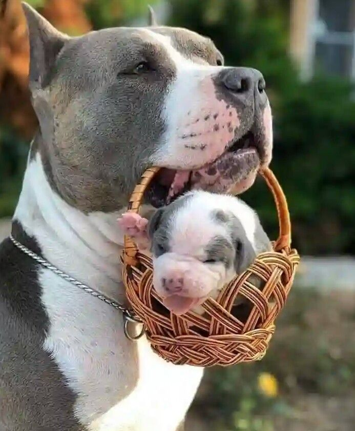 Pin By Laura Robicheau On Animais Fofos Pitbull Puppies Pitbull Dog Cute Baby Animals