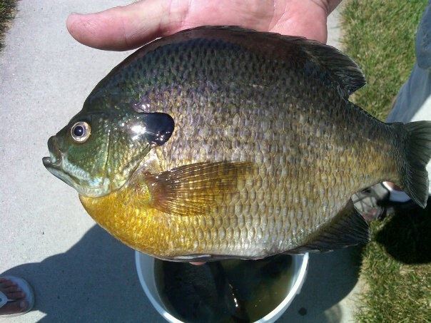17 best images about fish bluegill on pinterest lakes for Bluegill fish tank