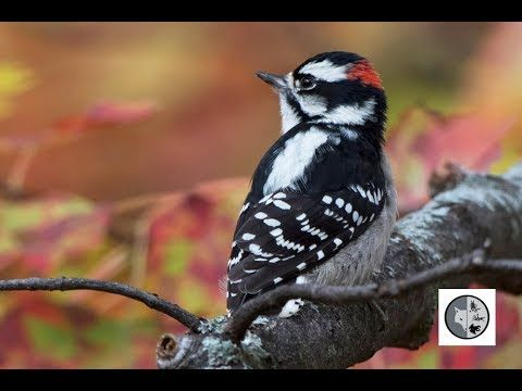Identify 6 woodpeckers of Quebec