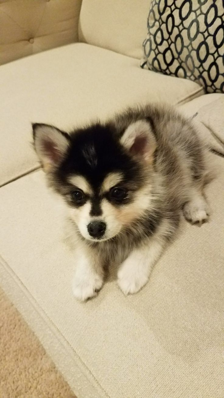 3 month old male Pomsky puppy Aledo Puppies for Sale t