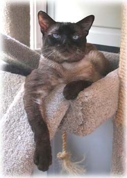 #Siamese Rescue. Adopt. http://www.siameserescue.org/adopt.php {this guy looks just like my rescue boy named Plush}