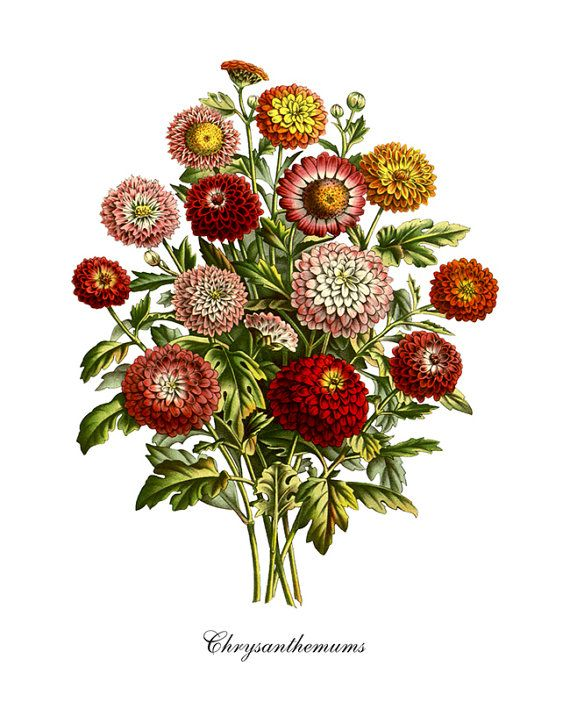 Botanical Print Chrysanthemum Print Home Decor Chrysanthemums Natural History Flower Floral Print Chrysanthemum Bouquet Reproduction FL041 This antique botanical giclee print has been digitally enhanced to restore the vibrant color of the original art. Whether your home is shabby