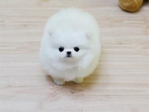 White dogs that look like polar bears