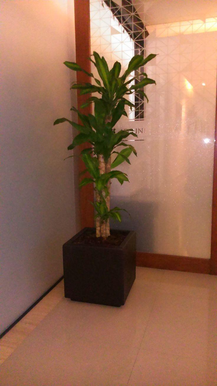 Palo de brasil macetero con planta para sombra - Macetas de pared ...