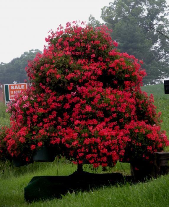 Petunia Tree Photograph  - Petunia Tree Fine Art Print
