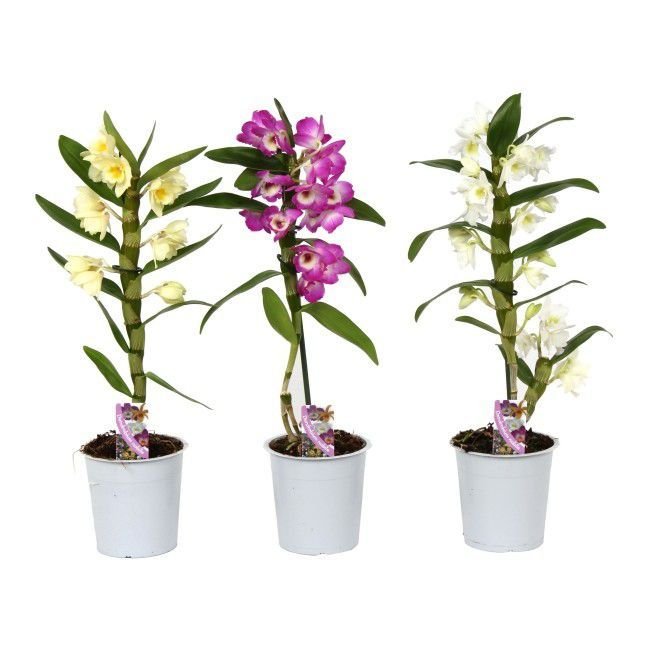 Dendrobium 45 60 Cm Doniczka 12 Cm Mix Plants 60th 45th