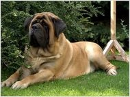 I have an apricot english/bull Mastiff and he is wonderful. 200lbs of big baby!!!