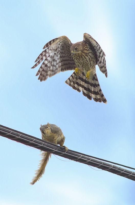Hawk attacking squirrel.