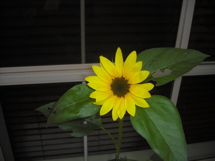 My first ever sunflower grown in Australia
