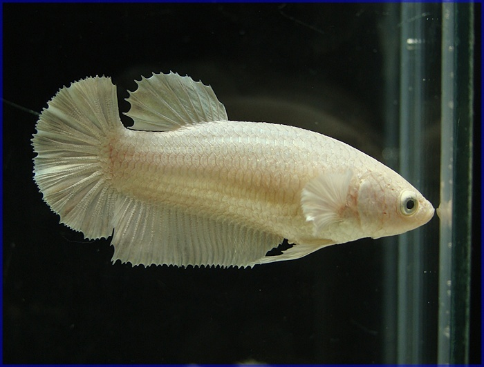 76 best images about female bettas on pinterest for Big betta fish