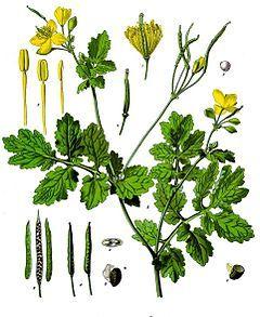 Glistnik jaskółcze ziele: zdjęcie
