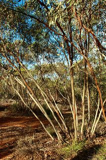 Mallee gum trees - http://www.gucciwealth.com/mallee-gum-trees/