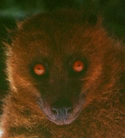 In Fiji, there's 6 species of bats including the fruit bat (beka)