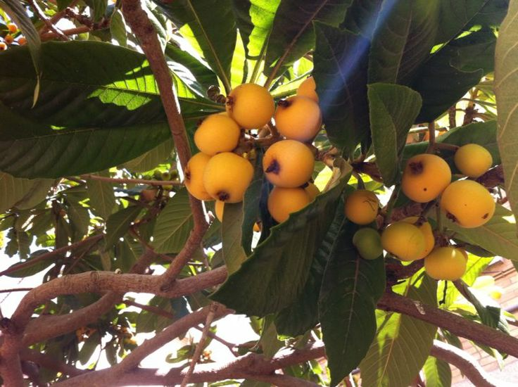 I love Loquats fruits! (Japanese medlar/ Japanese plum, Nespoli/ nisper; moşmon - Romanian)