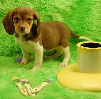 Mini Beagle Puppies for Sale-NEW LITTER!!!