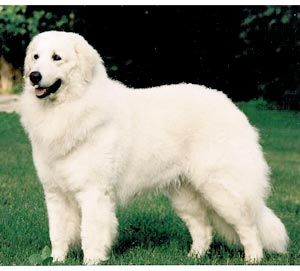 Hungarian #Kuvasz - Lovely Large White #Dogs A friend of mine has one. He lives…