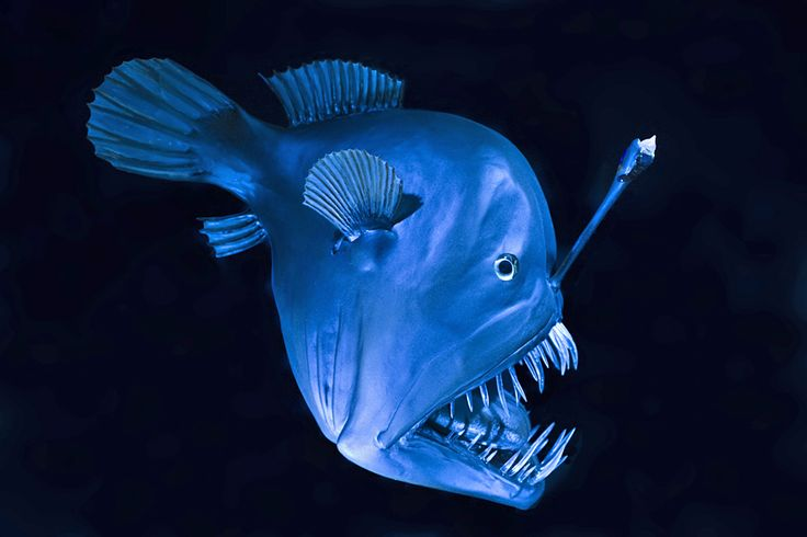 Tiefsee-Anglerfisch