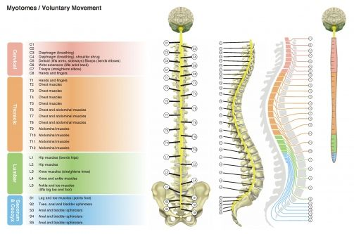 Spinal Nerves Up Close  SpinalHub   Nerves and Plexus
