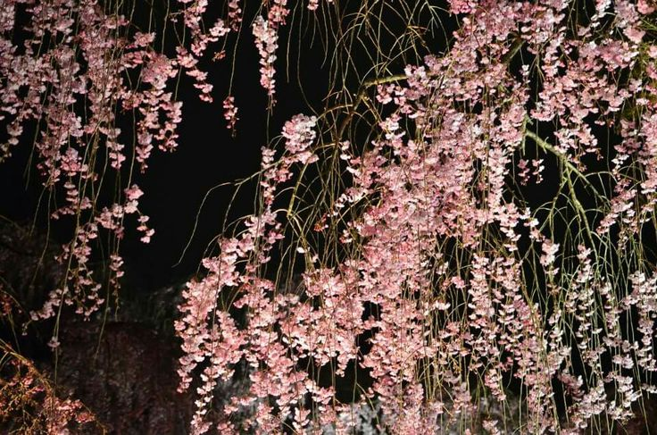 The cherry blossoms in Kyoto.